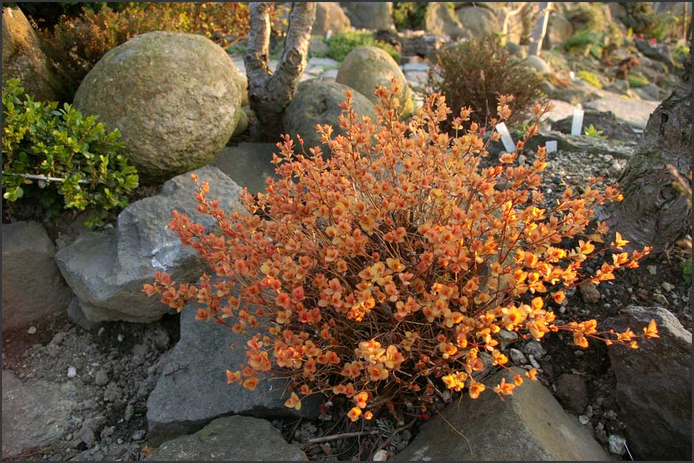Spiraea japonica , Gold flame ,